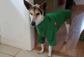 Pumba keeping warm in Wales in his new Green Cosy Fleece Dog Jumper