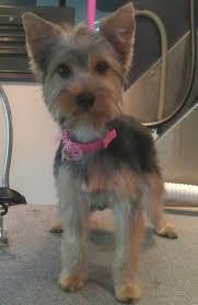 silky terrier hair cut the 25 best silky terrier ideas on pinterest yorkshire terrier