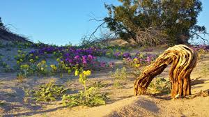 exploring rare desert flowers of anza borrego super bloom