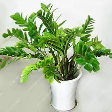plante pour chambre 2 pcs tropical climat de steppe zone zamioculcas zamiifolia graines