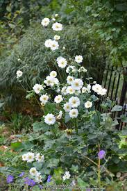 native japanese plants anemones plant care and collection of varieties garden org