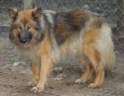 belgian sheepdog illinois native american shepherd sires u0026 dams majestic view kennels