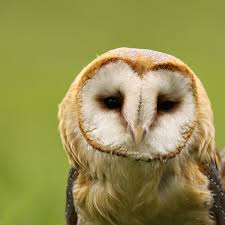 Barn Owl Photography Barn Owl Looking At You Royalty Free Stock Photography Image