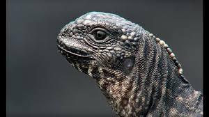 iguana vs snakes planet earth ii the daily aww