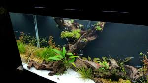 which mosses attach to wood the planted tank forum