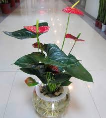 Indoor Plant For Office Desk Online Shop Hydroponic Anthurium Indoor Bonsai Plants And Flowers