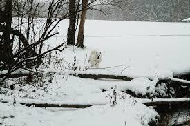 american eskimo dog michigan wyoming mi lemery park american eskimo taylor wylie