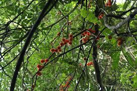 cnestis palala useful tropical plants