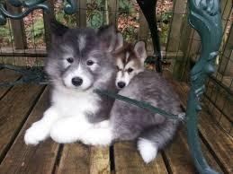 australian shepherd husky puppy 488 best pup images on pinterest animals akita dog and akita