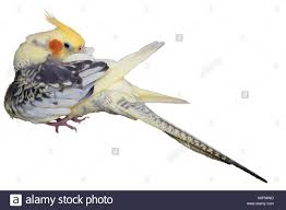 cartoon cockatiel cockatiel yellow head beak stock photos u0026 cockatiel yellow head