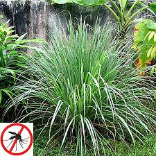 citronella grass cymbopogon nardus for sale fast growing trees
