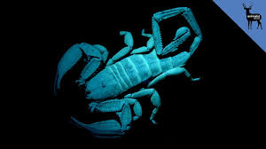why do scorpions glow in the