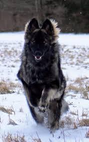 belgian shepherd dog club of canada best 25 shiloh shepherd ideas on pinterest german shepherd