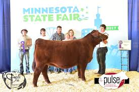 minnesota state fair 4 h heifers commercial the pulse