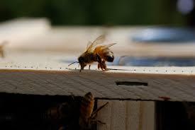 back yard hive www backyardhive com honeybee guardianship using