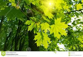 beautiful spring leaves of maple tree and sunlight stock photo