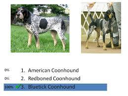 bluetick coonhound genetics hound group 1 greyhound 2 afghan hound 3 borzoi ppt download