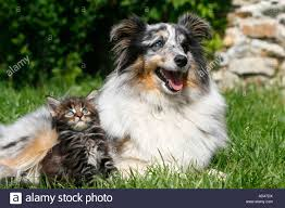 australian shepherd spaniel mix mixed breed dog domestic cats stock photos u0026 mixed breed dog