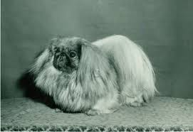 affenpinscher loyalty pekingese history u0026 training temperament