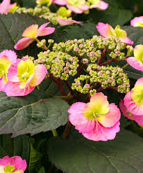 Where To Buy Pink Cotton Candy Buy Ornamental Shrubs Now Flair U0026 Flavours Hydrangea U0027cotton
