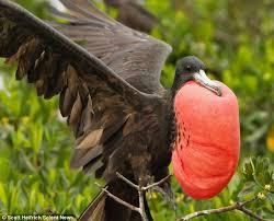 magnificent frigatebird puffs bright red chest attract mate