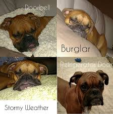 Funny Boxer Dog Memes - butchie as a puppy lol i want another boxer animals pinterest