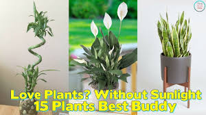 small low light plants best office plants no sunlight low light loving houseplants perfect