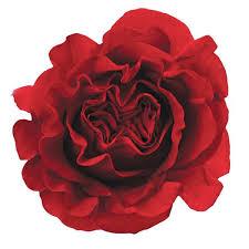 roses wholesale premium burgundy garden wholesale bulk jr roses wholesale