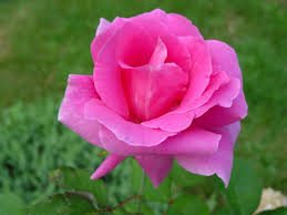 how to plant and prune rose bushes with a photo gallery of roses