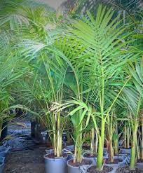 palms archives lakeside plants nursery