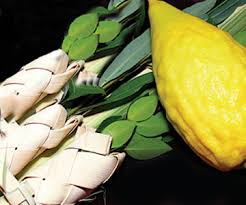 etrog for sale etrog lulav sale sephardic torah center of dallas
