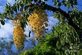 wilhelmina tenney rainbow shower tree makawao flowering trees