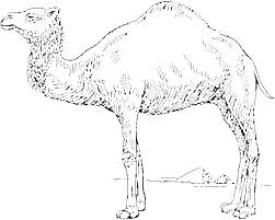 camel coloring page coloring pages animals org
