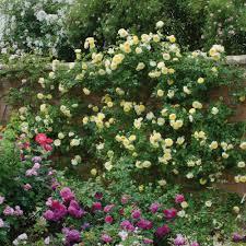 the pilgrim most fragrant climbing roses fragrant