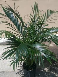 areca palm dypsis lutescens plant in 10 inch pot about 42 inches