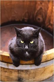 halloween background cat eyes 600x 600 258 best cat noir images on pinterest animals black kitty and