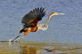 Heron Meaning by Heron Goliath Heron Bird Facts And Pictures All Wildlife