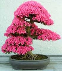 tree with pink flowers bonsai tree with pink flowers 7 nature