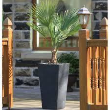 chamaerops tree with black tall tapered planter garden street