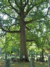 file largest tulip tree at green wood cemetery ny