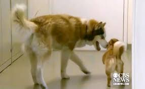 Blind Dog And His Guide Dog Blind Husky His Guide Dog Almost Put Down Now To Be Adopted