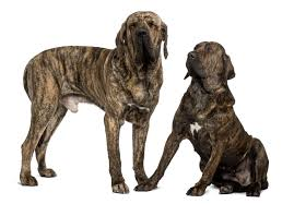 american pitbull terrier uk law what are dangerous dogs which breeds are banned in the uk and