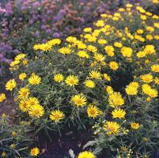 aster in ornamental plants from russia and adjacent states of the