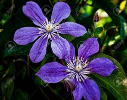 a climbing vine of purple clematis flowers stock photo picture
