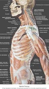 Full Body Muscle Anatomy 262 Best Anatomy Images On Pinterest Anatomy Reference Human