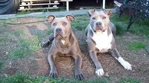 american pitbull terrier apbt sinnoma coast kennel