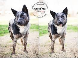 american eskimo dog dallas dallas dog photographer