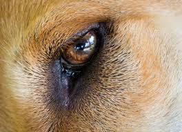 What Causes Blindness At Birth Dog Eye Infections In New Borns New Born Dogs Eye Infection Petmd