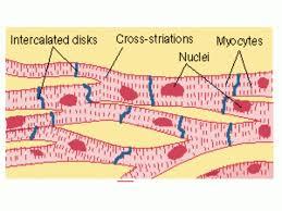 cardiac muscle diagram microscope cardiac muscle diagram