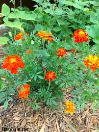 grow marigolds they are awesome u2022 craft thyme